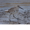 Long Billed Dowitcher (b0334)