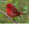 Summer Tanager (b2335)