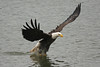Bald eagle fish catch