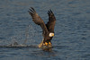 bald eagle catching fish
