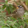 White Crown Sparrow 1