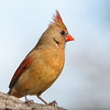 Northern Cardinal  (Cardinalis cardinalis ) -female)-