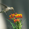 Hummingbirds Like Milkweed View 2