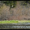 While watching ring-necked ducks, a Cooper's hawk suddenly appeared from the bush.  The ducks look on without any worries as they are much too large for the hawk, and they know it!  The Cooper's hawk circled a few times, and then flew to the other side of the lake to search for smaller prey.<br /> <br /> Trillium Lake, Oregon.  (2015)