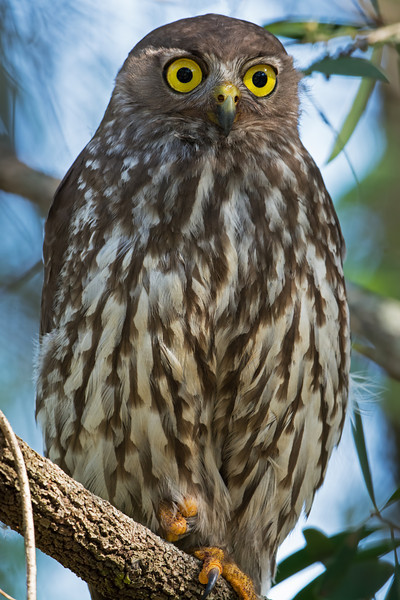 Barking Owl, Burleigh Heads, Queensland.