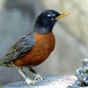 American Robin With Some Kind of Problem With  its Feet