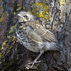 Young fieldfare (Turdus pilaris)