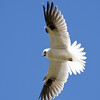 Black-shouldered Kite,The Spit, Main Beach. Qld.