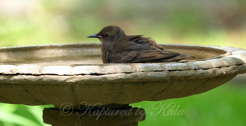 Baby Starling in the bird bath