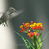 Hummingbirds Like Milkweed View 3