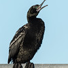 Little Black Cormorant, The Spit, Gold Coast, Queensland.
