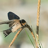 Barn Swallow Fledgling