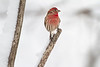 Common house finch with red colors in the white snow.