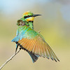 Rainbow Bee-eater having a stretch