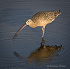 Fishing Curlew