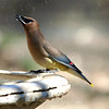 Cedar Waxwing at My Bird Bath