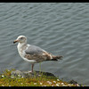 Second Year Western Gull
