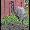 The Happy Emu