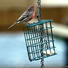 Male House Finch Checking Out the Suet