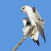 Black-shouldered Kite, Federation Walk Coastal Reserve
