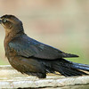 Female Great-Tailed Grackle in the Birdbath