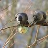 Two jackdaws (Corvus monedula)