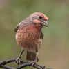 House Finch male western orange variant