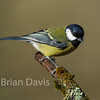 Great Tit 2