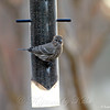 Female House Finch Checking Out the Finch Feeder