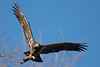 flying juvenile bald eagle with fish