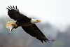 Flying bald eagle with fish
