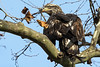 juvenile bald eagle in tree with fish