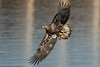 Flying juvenile bald eagle