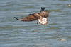 juvenile bald eagle catching fish