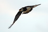 flying crested caracara