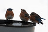 bluebirds at icy birdbath