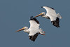 white pelican flying pair