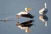 White pelican taking flight