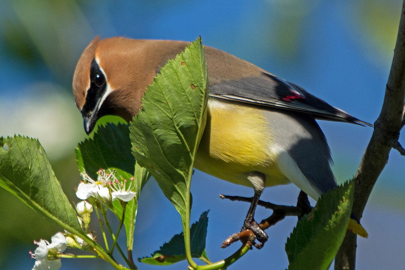 cedar waxwing in blooming apple tree