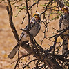 Kgalagadi Transfrontier Park, South Africa. A Southern Yellow-Billed Hornbill (Tockus leucomelas) scans the surrounding area before offering a small rodent as a nuptial gift to his mate.