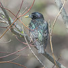 KT_F starling in spring branches