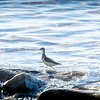 Spotted Sandpiper rock-walking