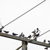 A flock of Pigeons have a power meeting