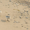 A pair of Sanderlings roam the beach