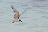 Common tern, Sterna hirundo, Winter, La Digue, Seychelles, Feb-2014