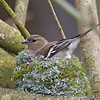 Chaffinch, Fringilla coelebs, Female, Holte, Denmark, April 2012