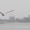 black, tailed, gull, juvenile, flight, 2Song, Do, South, Korea, may, 2013