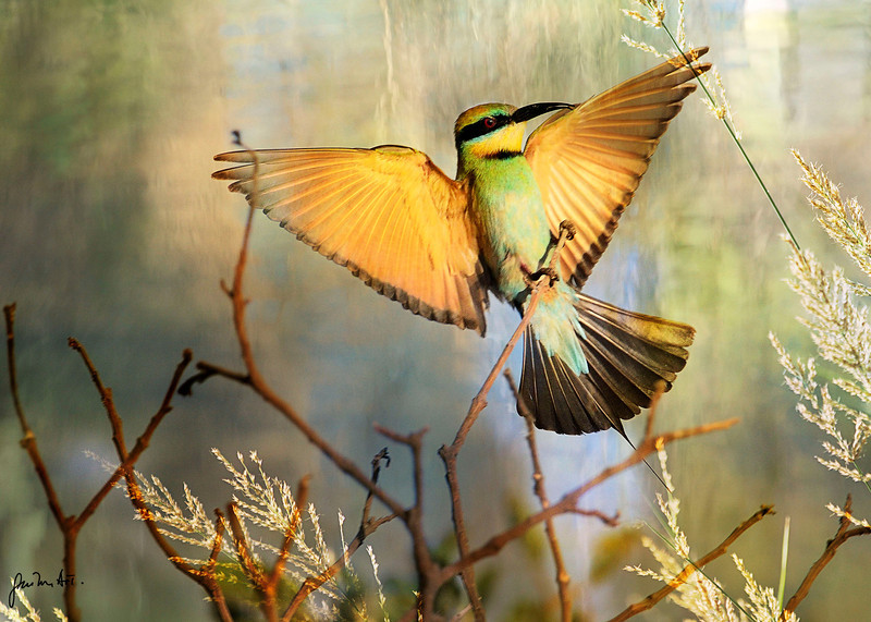 A Rainbow bee-eater about to land on a small branch