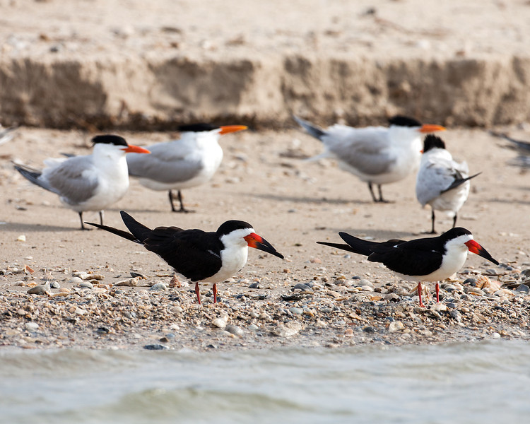 "Diane reported seeing about 26 Black Skimmers (the black-and-white birds in the front—with the ""banana boat"" type beak)—but no nests yet. The skimmers and the Royal Terns were seen on the beach from the boat. Peggy said that Audubon may be interested in doing a study. Photo credit: Diane D. Nunley"