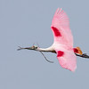 This beautiful Roseate Spoonbill was captured by Diane Nunley as the bird flew over with nesting materials.  This bird is in full breading plumage. The Roseate's are not sitting on nests yet, but will be soon. Photo credit: Diane D. Nunley